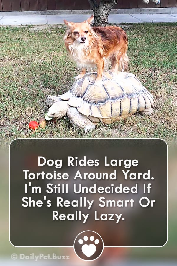 Dog Rides Large Tortoise Around Yard. I\'m Still Undecided If She\'s Really Smart Or Really Lazy.