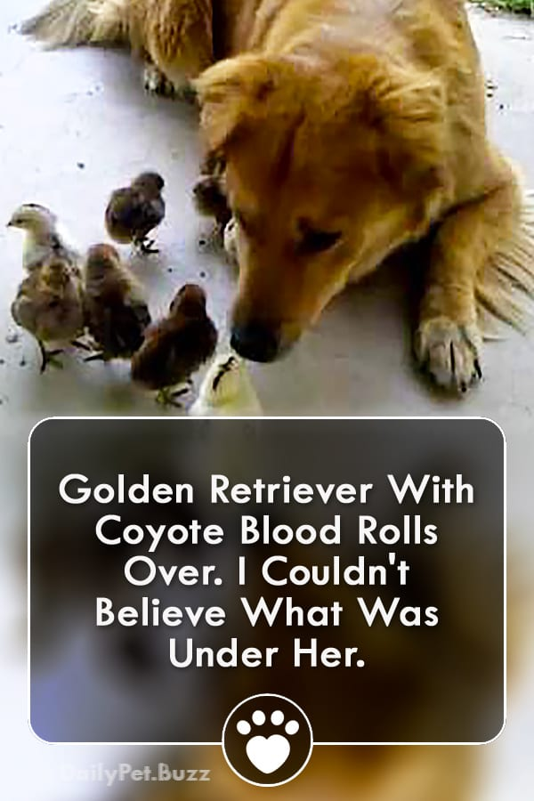 Golden Retriever With Coyote Blood Rolls Over. I Couldn\'t Believe What Was Under Her.
