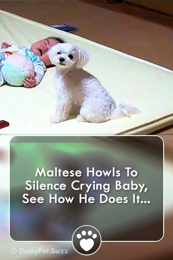 Maltese Howls To Silence Crying Baby, See How He Does It...
