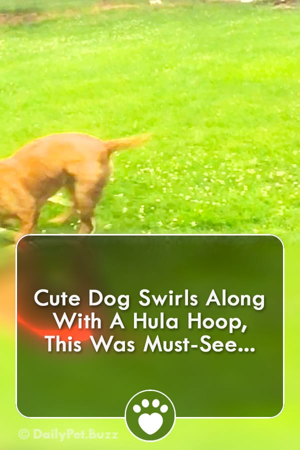 Cute Dog Swirls Along With A Hula Hoop, This Was Must-See...