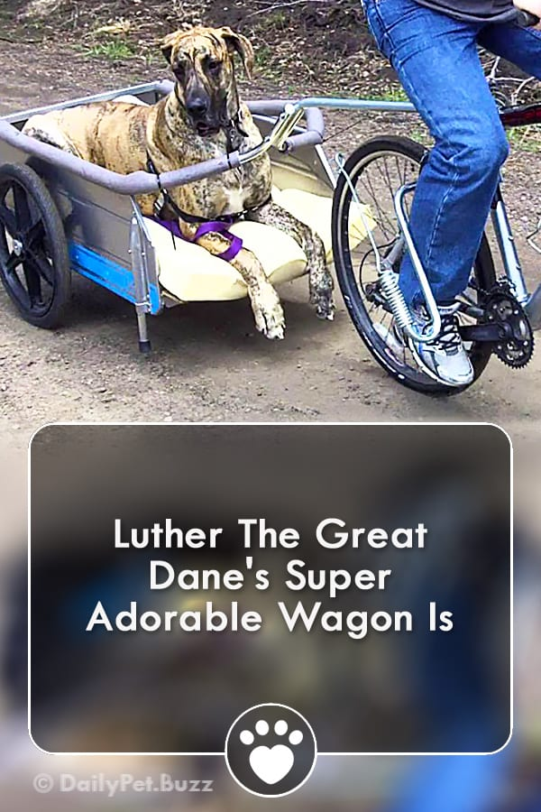 Luther The Great Dane\'s Super Adorable Wagon Is