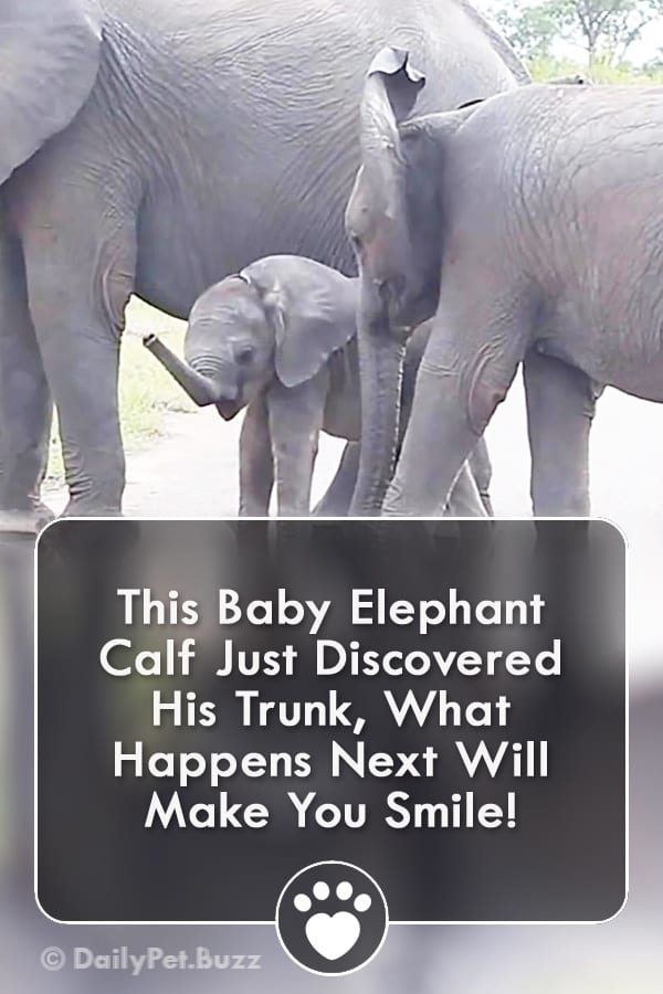 This Baby Elephant Calf Just Discovered His Trunk, What Happens Next Will Make You Smile!