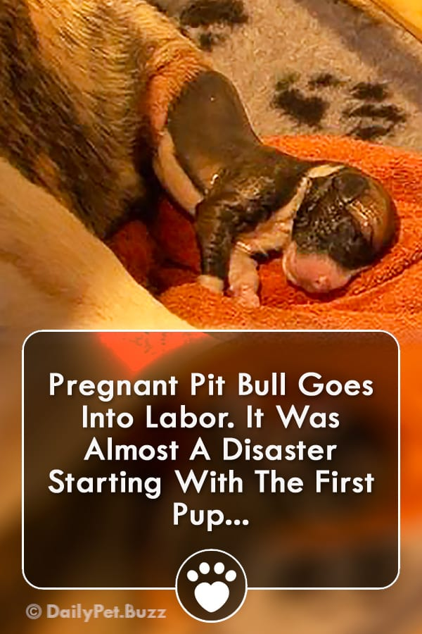 Pregnant Pit Bull Goes Into Labor. It Was Almost A Disaster Starting With The First Pup...