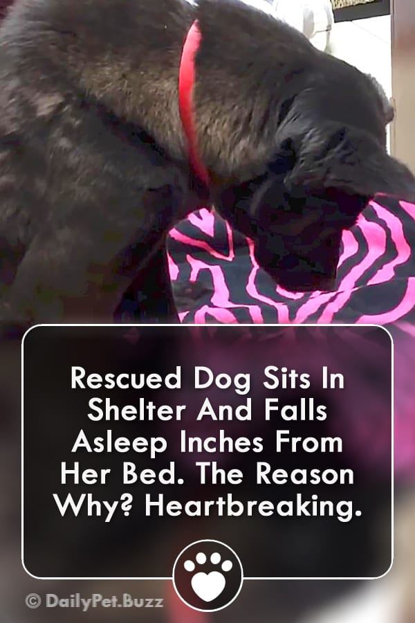 Rescued Dog Sits In Shelter And Falls Asleep Inches From Her Bed. The Reason Why? Heartbreaking.