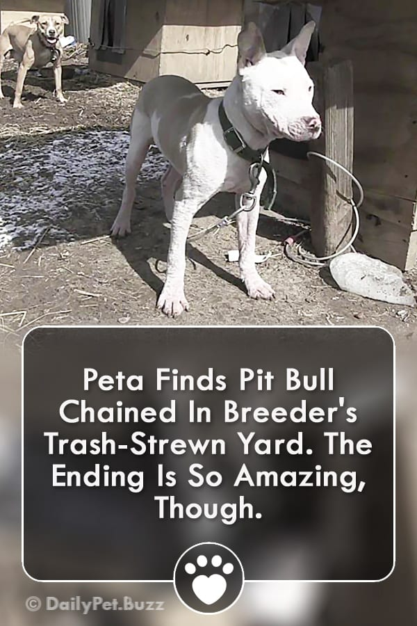 Peta Finds Pit Bull Chained In Breeder\'s Trash-Strewn Yard. The Ending Is So Amazing, Though.