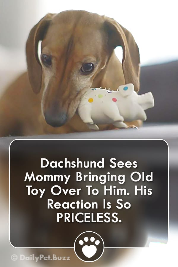 Dachshund Sees Mommy Bringing Old Toy Over To Him. His Reaction Is So PRICELESS.