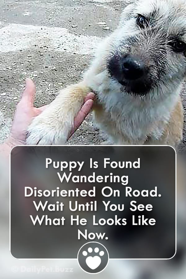 Puppy Is Found Wandering Disoriented On Road. Wait Until You See What He Looks Like Now.