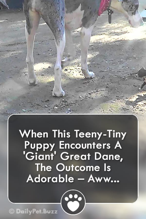 When This Teeny-Tiny Puppy Encounters A \'Giant\' Great Dane, The Outcome Is Adorable – Aww...