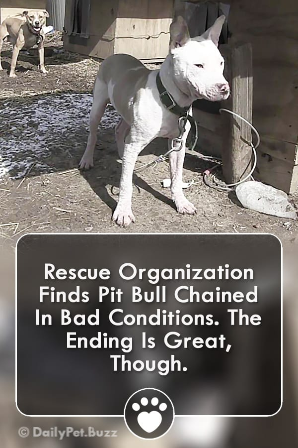 Rescue Organization Finds Pit Bull Chained In Bad Conditions. The Ending Is Great, Though.