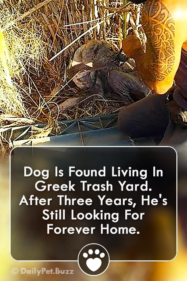 Dog Is Found Living In Greek Trash Yard. After Three Years, He\'s Still Looking For Forever Home.
