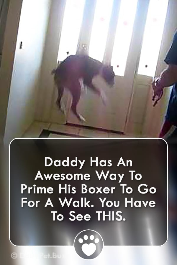 Daddy Has An Awesome Way To Prime His Boxer To Go For A Walk. You Have To See THIS.