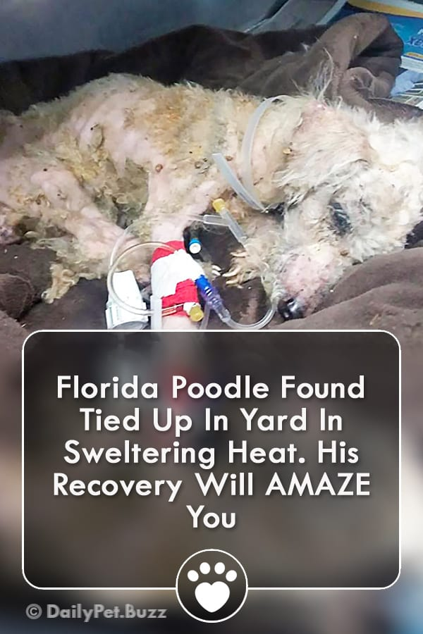 Florida Poodle Found Tied Up In Yard In Sweltering Heat. His Recovery Will AMAZE You