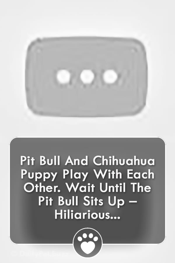 Pit Bull And Chihuahua Puppy Play With Each Other. Wait Until The Pit Bull Sits Up – Hiliarious...