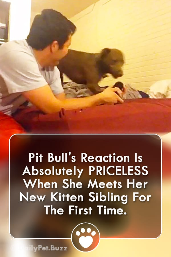 Pit Bull\'s Reaction Is Absolutely PRICELESS When She Meets Her New Kitten Sibling For The First Time.