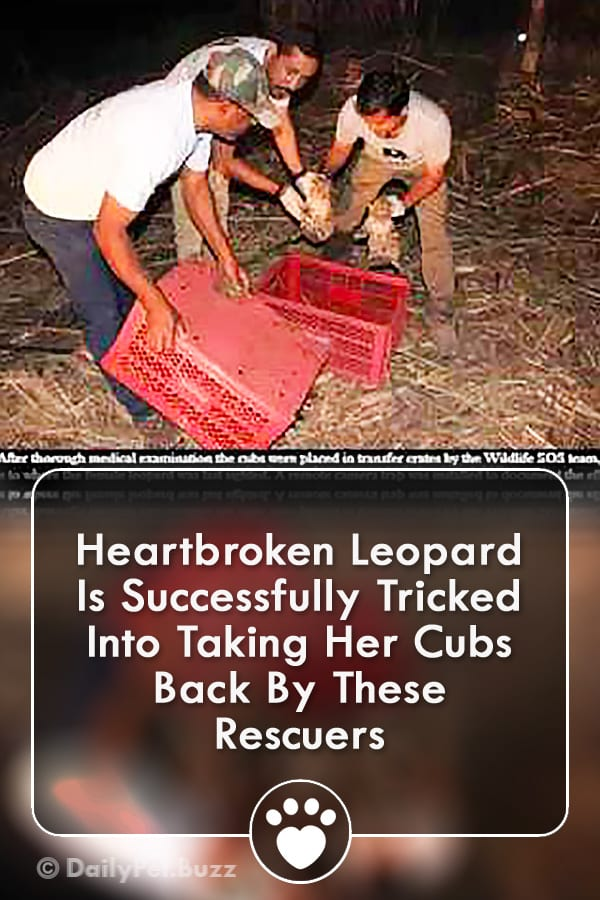 Heartbroken Leopard Is Successfully Tricked Into Taking Her Cubs Back By These Rescuers