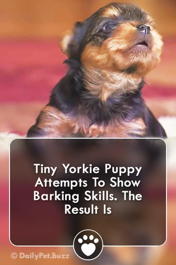 Tiny Yorkie Puppy Attempts To Show Barking Skills. The Result Is