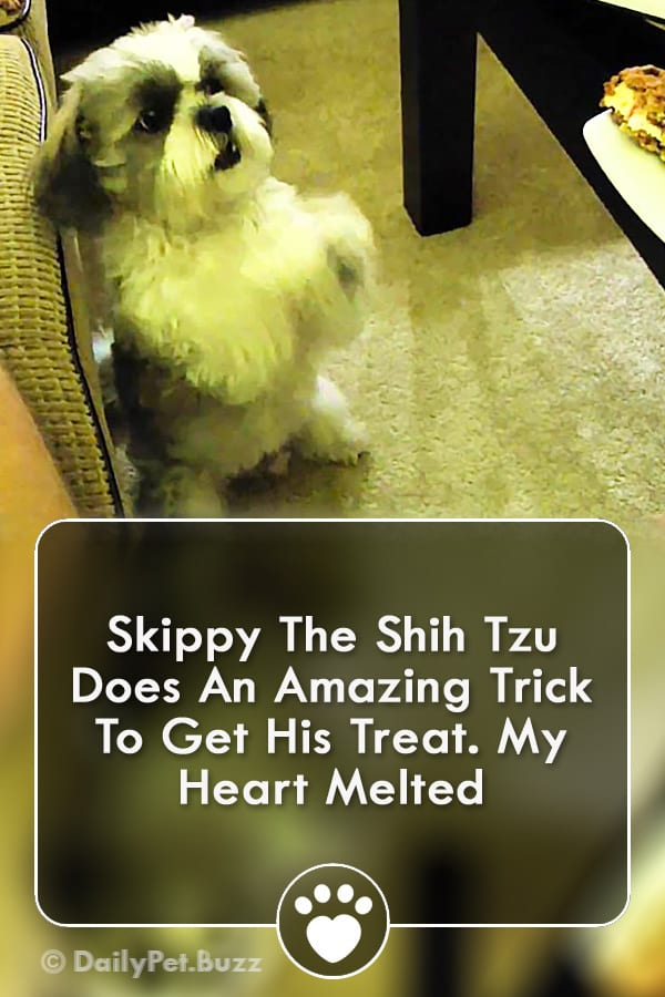 Skippy The Shih Tzu Does An Amazing Trick To Get His Treat. My Heart Melted