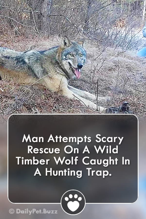 Man Attempts Scary Rescue On A Wild Timber Wolf Caught In A Hunting Trap.