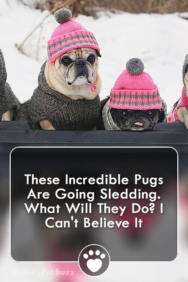 These Incredible Pugs Are Going Sledding. What Will They Do? I Can\'t Believe It