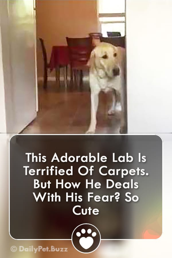 This Adorable Lab Is Terrified Of Carpets. But How He Deals With His Fear? So Cute