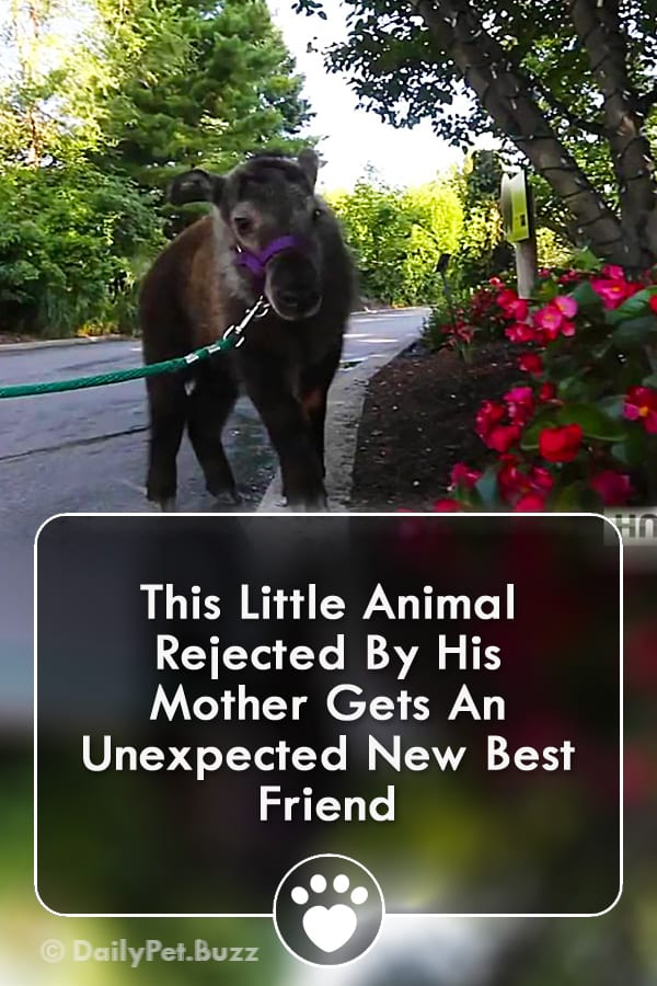 This Little Animal Rejected By His Mother Gets An Unexpected New Best Friend