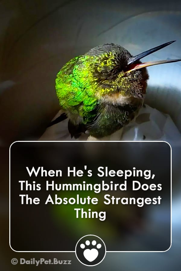 When He\'s Sleeping, This Hummingbird Does The Absolute Strangest Thing