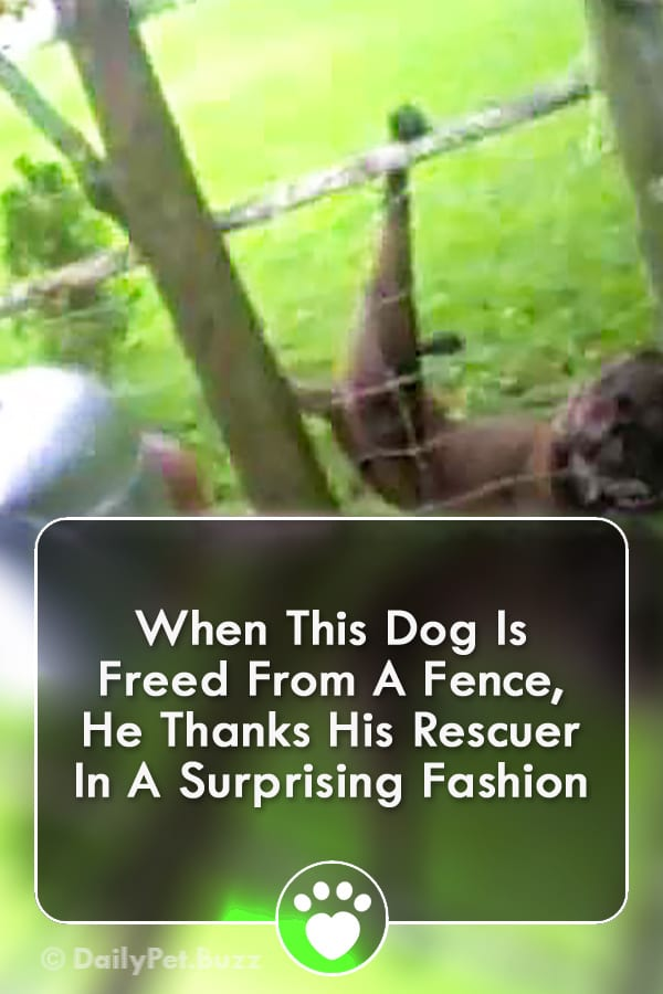 When This Dog Is Freed From A Fence, He Thanks His Rescuer In A Surprising Fashion