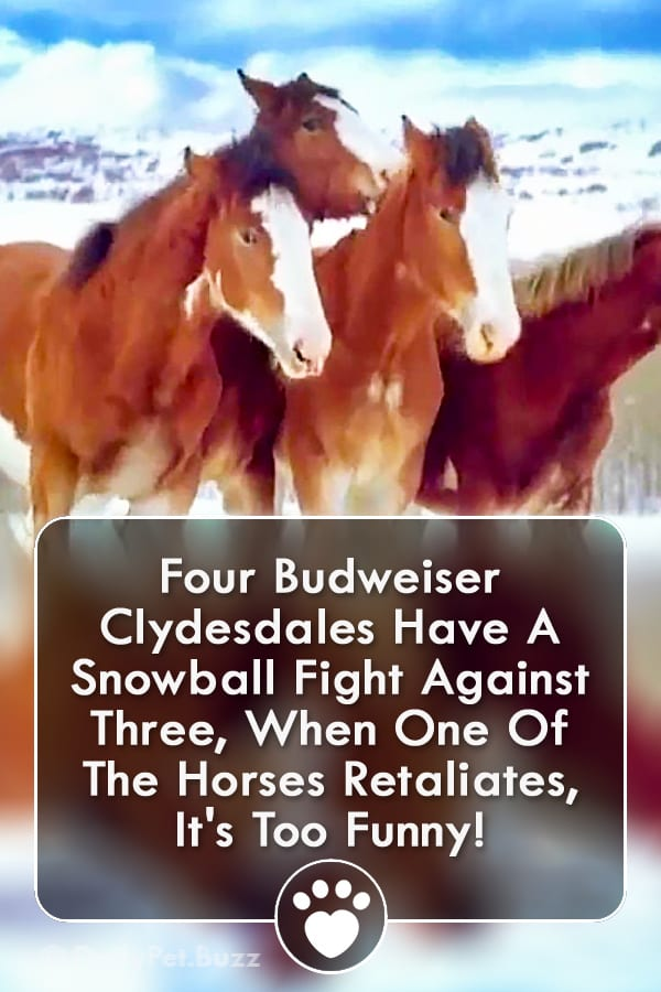 Four Budweiser Clydesdales Have A Snowball Fight Against Three, When One Of The Horses Retaliates, It\'s Too Funny!