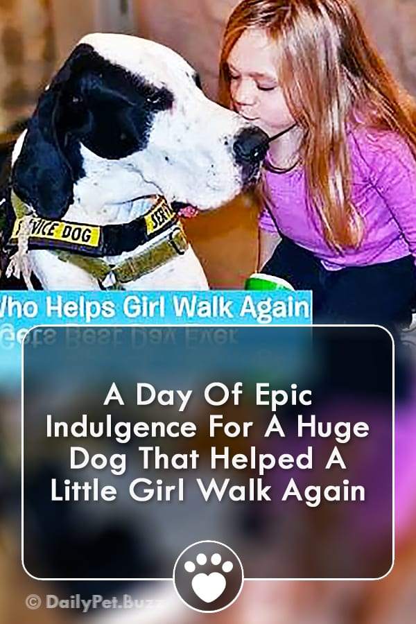A Day Of Epic Indulgence For A Huge Dog That Helped A Little Girl Walk Again