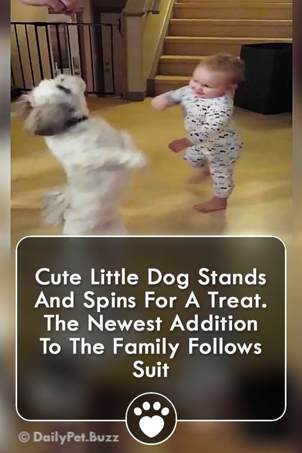 Cute Little Dog Stands And Spins For A Treat. The Newest Addition To The Family Follows Suit