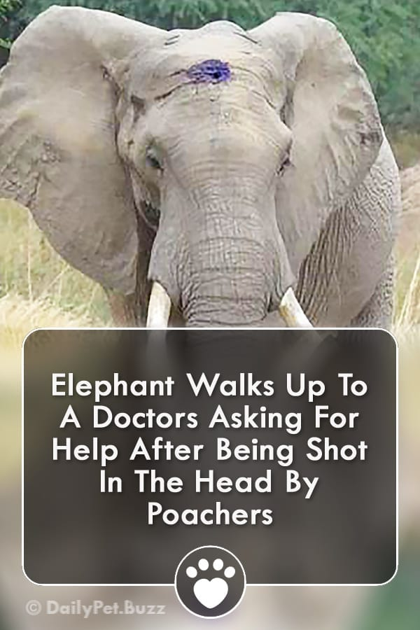 Elephant Walks Up To A Doctors Asking For Help After Being Shot In The Head By Poachers