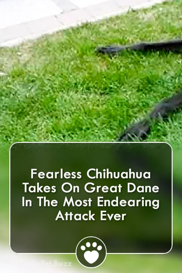 Fearless Chihuahua Takes On Great Dane In The Most Endearing Attack Ever