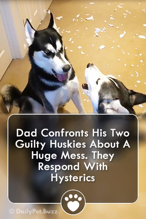 Dad Confronts His Two Guilty Huskies About A Huge Mess. They Respond With Hysterics