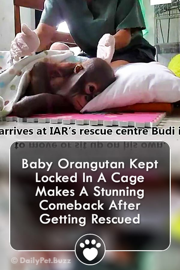 Baby Orangutan Kept Locked In A Cage Makes A Stunning Comeback After Getting Rescued