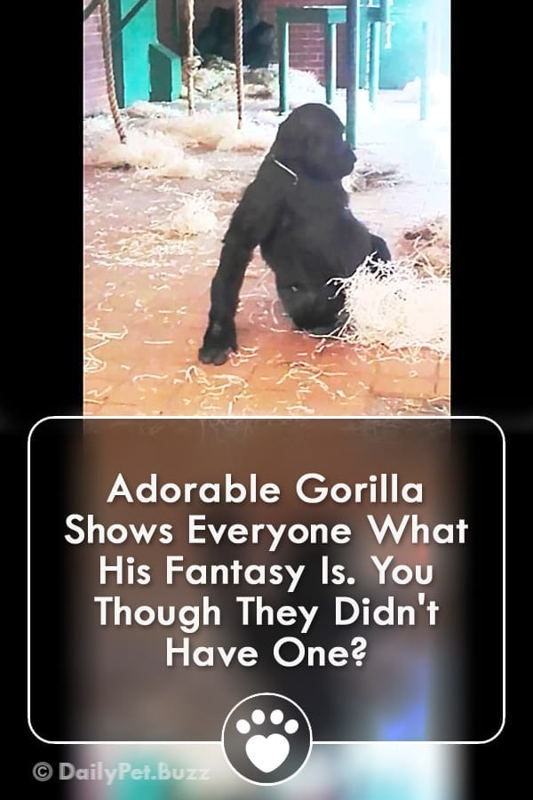 Adorable Gorilla Shows Everyone What His Fantasy Is. You Though They Didn\'t Have One?