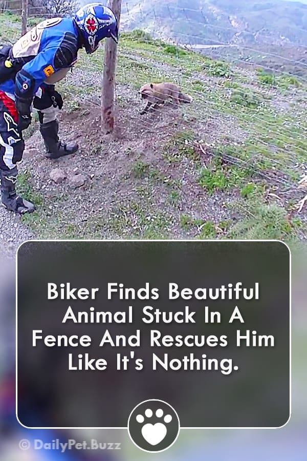 Biker Finds Beautiful Animal Stuck In A Fence And Rescues Him Like It\'s Nothing.