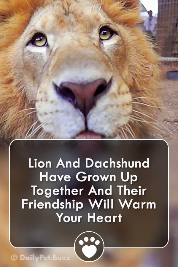 Lion And Dachshund Have Grown Up Together And Their Friendship Will Warm Your Heart