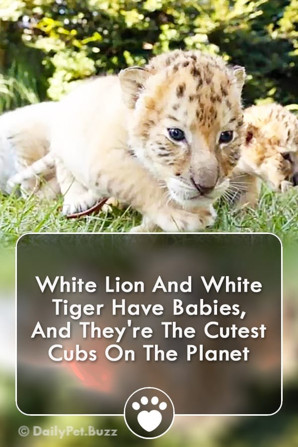 White Lion And White Tiger Have Babies, And They\'re The Cutest Cubs On The Planet