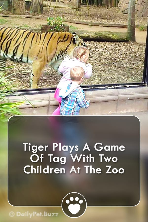 Tiger Plays A Game Of Tag With Two Children At The Zoo