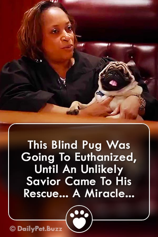 This Blind Pug Was Going To Euthanized, Until An Unlikely Savior Came To His Rescue... A Miracle...