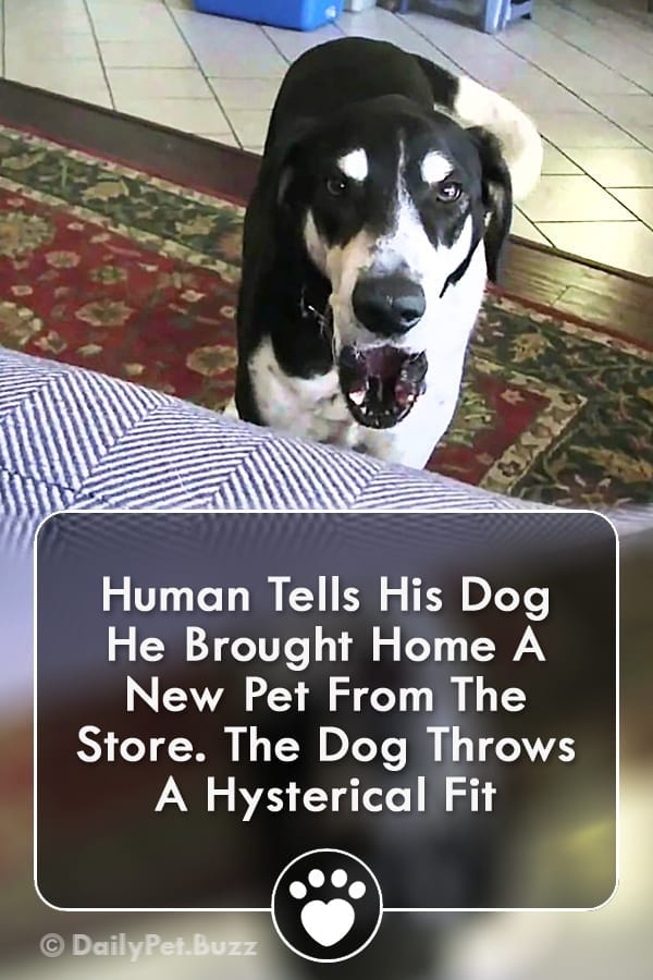 Human Tells His Dog He Brought Home A New Pet From The Store. The Dog Throws A Hysterical Fit
