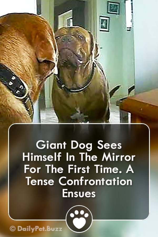 Giant Dog Sees Himself In The Mirror For The First Time. A Tense Confrontation Ensues