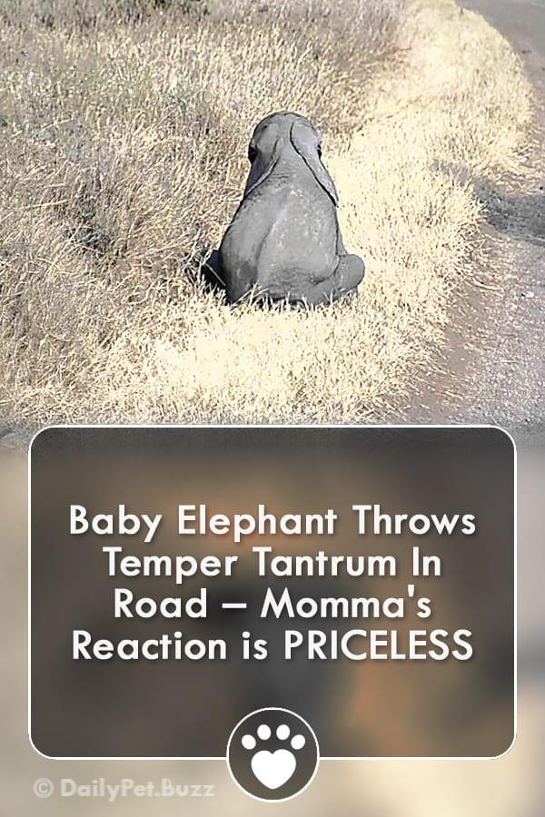 Baby Elephant Throws Temper Tantrum In Road – Momma\'s Reaction is PRICELESS