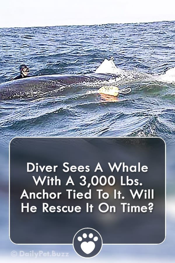 Diver Sees A Whale With A 3,000 Lbs. Anchor Tied To It. Will He Rescue It On Time?