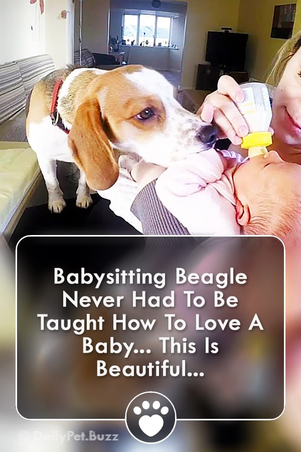 Babysitting Beagle Never Had To Be Taught How To Love A Baby... This Is Beautiful...