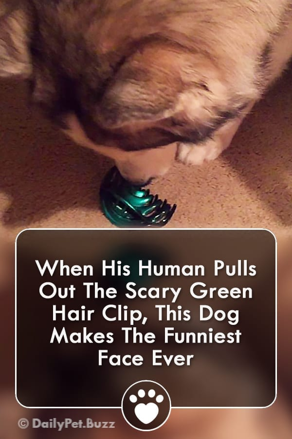 When His Human Pulls Out The Scary Green Hair Clip, This Dog Makes The Funniest Face Ever