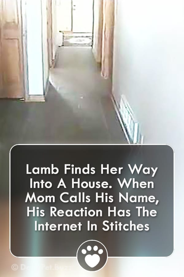 Lamb Finds Her Way Into A House. When Mom Calls His Name, His Reaction Has The Internet In Stitches