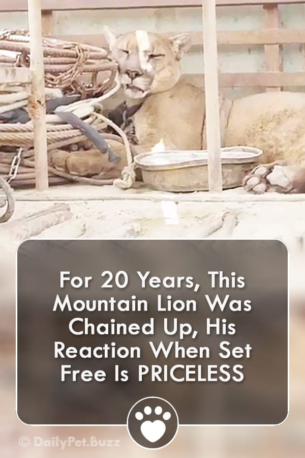 For 20 Years, This Mountain Lion Was Chained Up, His Reaction When Set Free Is PRICELESS
