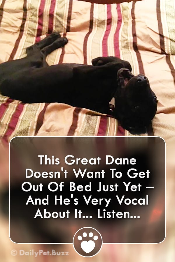 This Great Dane Doesn\'t Want To Get Out Of Bed Just Yet – And He\'s Very Vocal About It... Listen...