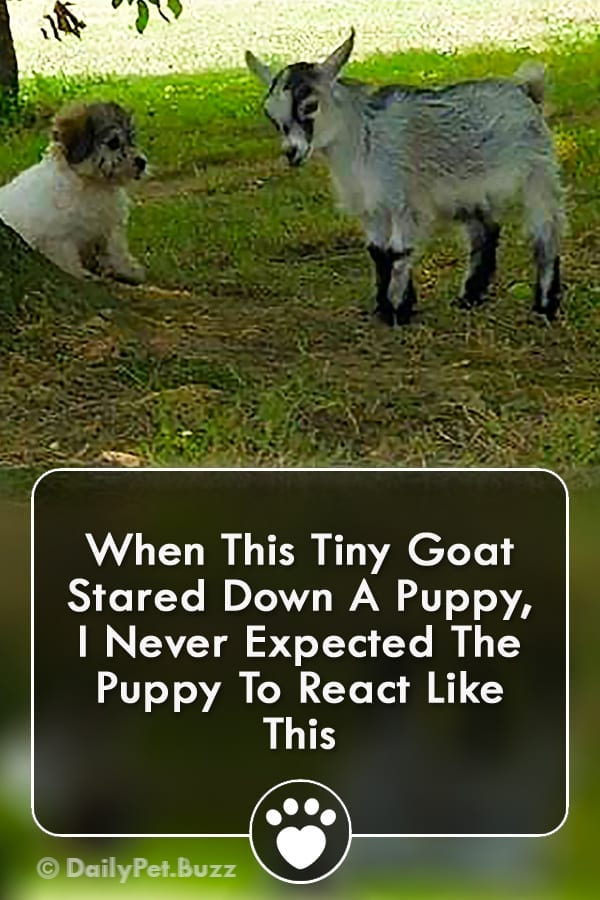 When This Tiny Goat Stared Down A Puppy, I Never Expected The Puppy To React Like This